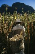 Baskets Photos - A Huichol Farmer Harvests Ears Of Corn by Maria Stenzel