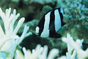 Humbug Photos - A Humbug Dascyllus Fish Swims by Tim Laman