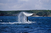 Humpback Posters - A Humpback Whale Slapping Its Tail Poster by Jason Edwards