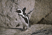 Flippers Framed Prints - A Jackass Penguin Flaps Its Flippers Framed Print by Joel Sartore