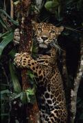 Jaguars Framed Prints - A Jaguar Named Boo Climbs A Tree Framed Print by Steve Winter