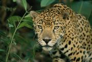 Jaguars Prints - A Jaguar Panthera Onca Pauses Print by Steve Winter