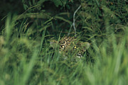 Jaguars Framed Prints - A Jaguar Peeks Out From The Foliage Framed Print by Steve Winter