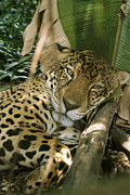 Jaguars Framed Prints - A Jaguar Rests On The Jungle Floor Framed Print by Ed George