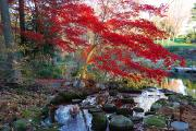 Maple Trees Prints - A Japanese Maple With Colorful, Red Print by Darlyne A. Murawski