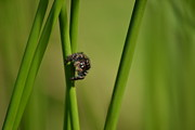 Jumping Spiders Prints - A Jumper in the Grass Print by JD Grimes