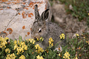 Animal Behavior Posters - A Juvenile Arctic Hare Nibbles Poster by Paul Nicklen
