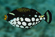Triggerfish Art - A Juvenile Clown Trigger Fish by Tim Laman