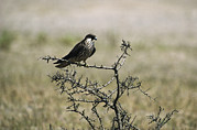 Juvenile Birds Posters - A Juvenile Hobby Perches On A Branch Poster by Klaus Nigge