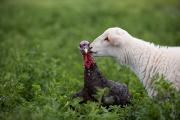 Property Posters - A Katahdin Lamb Gives A Bronze Turkey Poster by Joel Sartore