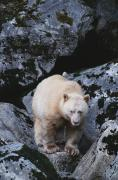 Bears Island Photos - A Kermodes, Or Spirit Bear Ursus by Tom Murphy