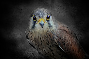 Peregrine Falcon Beautiful Wildlife Wings Beak Eye Bird Birds Predator Nature  Framed Prints - A Kestrel called Rosie Framed Print by Paul and Fe Photography Messenger