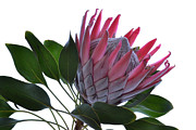 Protea Art Prints - A King From Africa. Print by Terence Davis