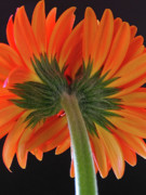 Gerbera Art - A Kiss is just a Kiss  by Juergen Roth