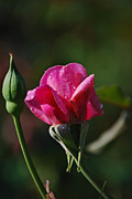 Photos With Red Photo Prints - A Knockout Rose Print by Skip Willits