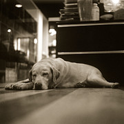 Flooring Prints - A Labrador Retriever Resting On The Floor Print by Lin Yu Wei