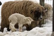Sheep Posters - A Lamb And Sheep In The Snow Poster by Tim Laman