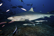 Swimming Fish Photos - A Large 10 Foot Tiger Shark Swims by Terry Moore