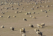 Crowd Scene Art - A Large Flock Of Sheep Graze On Dry by Jason Edwards