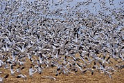 Action Animals Framed Prints - A Large Flock Of Snow Geese Chen Framed Print by Rich Reid