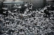 A Large Group Of Black-headed Gulls Print by Tim Laman
