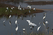 Egretta Thula Photos - A Large Group Of Egrets, Snowy by George Grall
