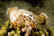 A Large Hermit Crab With Sea Anemones Print by Tim Laman