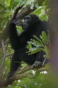 Senegal Prints - A Large Teenage Male Chimpanzee Perches Print by Frans Lanting
