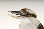 Laughing Posters - A Laughing Kookaburra Dacelo Poster by Joel Sartore