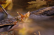 Fall Leaves Photos - A Leaf Washed Upon A Log by Jeff  Swan