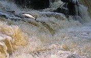 Breeding Posters - A Leaping Salmon In The Ballysadare Poster by Paul Nicklen