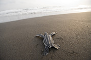 Crawling Posters - A Leatherback Sea Turtle Hatchling Poster by Joel Sartore