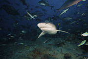 Tropical Fish Posters - A Lemon Shark Swims Through A Large Poster by Terry Moore