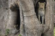 Juvenile Mammals Posters - A Leopard And Cub Inside A Giant Baobab Poster by Beverly Joubert