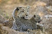 Bonding Metal Prints - A Leopard Cub Under The Watchful Eye Metal Print by Michael Poliza