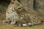 Botswana Prints - A Leopard Cub With Her Mother Print by Beverly Joubert