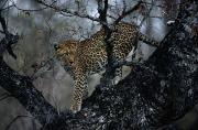 Wildcats Prints - A Leopard Panthera Pardus Stands Print by Chris Johns