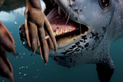 Open Mouths Posters - A Leopard Seal Brings Her Catch Poster by Paul Nicklen