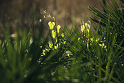 Saw Palmetto Photos - A Light Green Saw Briar Growing Among by Raymond Gehman