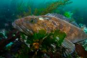 North Vancouver Posters - A Lingcod Nestled On The Seafloor Among Poster by Paul Nicklen