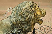 Cool Lion Prints - A Lion in Summer Print by Steve Harrington