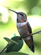 Rufous Hummingbird Posters - A Little Bling Poster by Angie Vogel