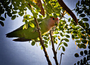 Lovebird Photos - A Little Love  by Saija  Lehtonen