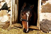 Horse Portrait Photos - A Little Nibble by Linda Mishler