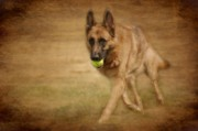 K9 Greeting Cards Photos - A Little Playtime - German Shepherd Dog by Angie McKenzie