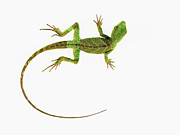 Out Of Context Framed Prints - A Lizard On Pure White Ground Framed Print by Nicholas Cope
