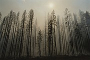 Fires Photos - A Lodgepole Pine Forest Smoulders by Raymond Gehman