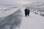 Snow Scenes Art - A Lone Bison Appears On A Long Stretch by Joel Sartore