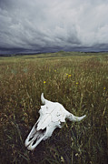 Custer Prints - A Lone Bison Skull Nestled Print by Annie Griffiths