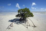 Tree Roots Photo Posters - A Lone Mangrove Tree On A Sand Spit Poster by Scott S. Warren